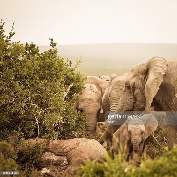 distressed african elephants mourning a dead family member - mourner stock pictures, royalty-free photos & images