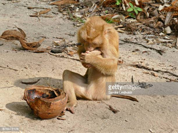 Distressed Pigtailed Macaque in Ko Samui, Thailand