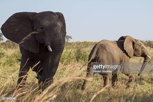Disturbed Elephants