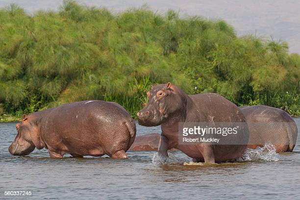 Disturbed Hippo