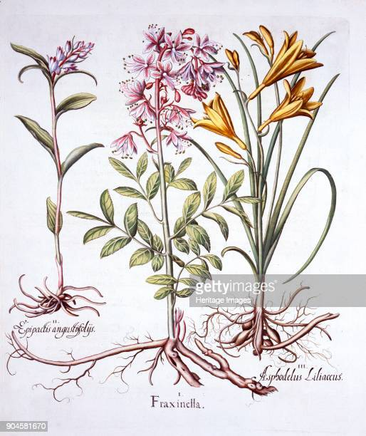 Dittany White Helleborine and Yellow Day Lily from 'Hortus Eystettensis' by Basil Besler 156116 I Fraxinella emits a vapour cloud on hot days which...