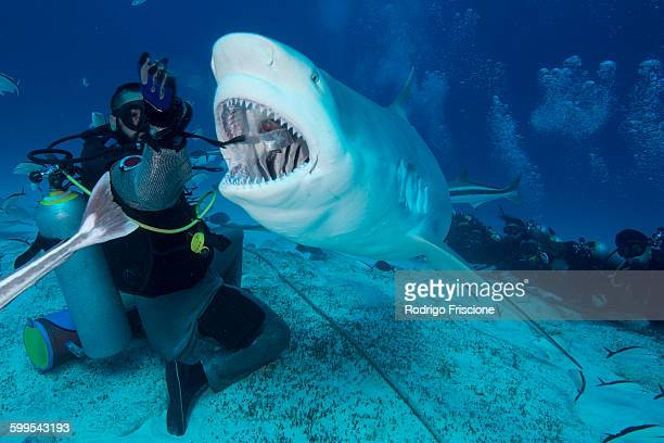 dive master hand feeding female bull shark, playa del carmen, quintana roo, mexico - bull shark stock pictures, royalty-free photos & images