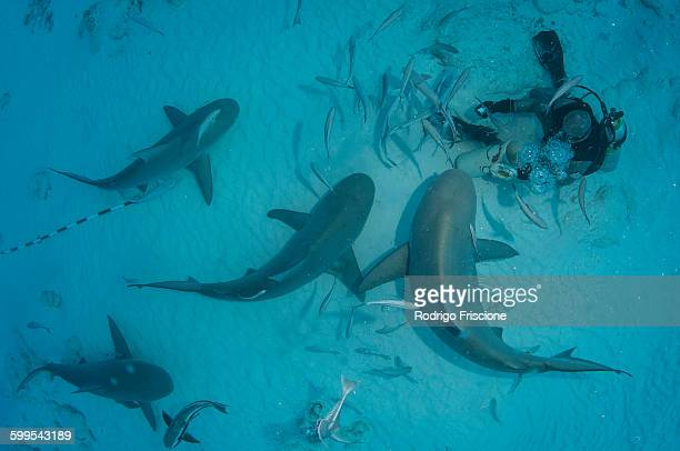 a dive master hand feeds bull sharks during the sharks winter migration, playa del carmen, mexico - playa del carmen stock pictures, royalty-free photos & images