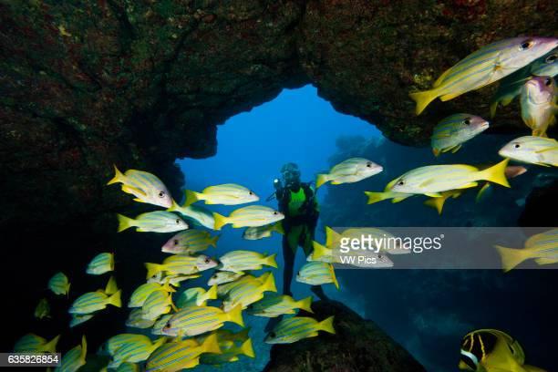 Diver and blue striped snapper Lutjanus kasmira at Sheraton Caverns off the island of Kauai Hawaii