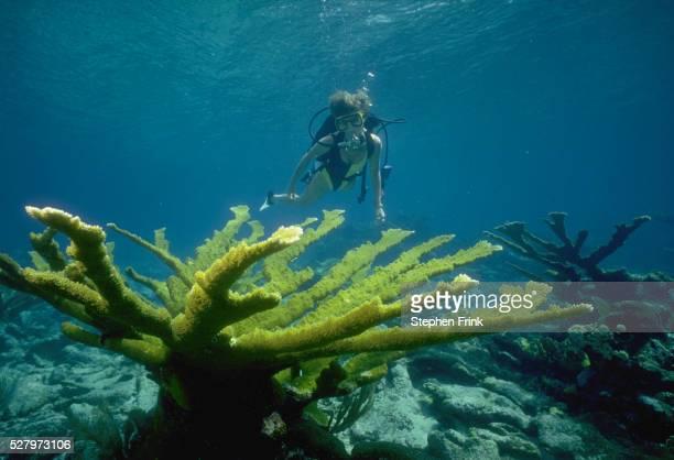 Diver and Elkhorn Corals