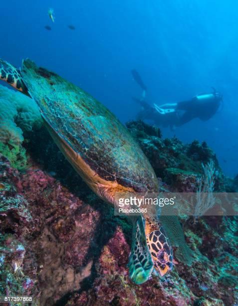 ダイバーと絶滅危惧種タイマイウミガメ (覆瓦生息)。