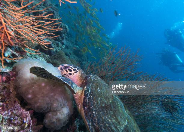 diver and endangered species hawksbill sea turtle (eretmochelys imbricate). - hawksbill turtle stock pictures, royalty-free photos & images