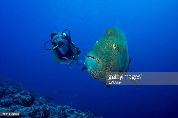 diver and humphead wrasse -cheilinus undulatus-, palau - メガネモチノウオ ストックフォトと画像