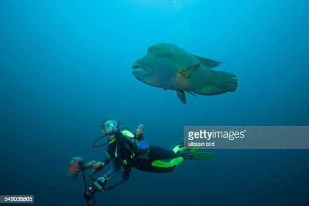 Diver and Napoleon Wrasse, Cheilinus undulatus, Fishhead, North Ari Atoll, Maldives