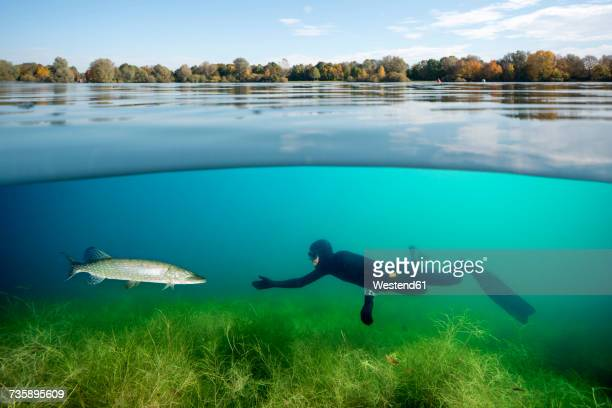 Diver and northern pike in a lake