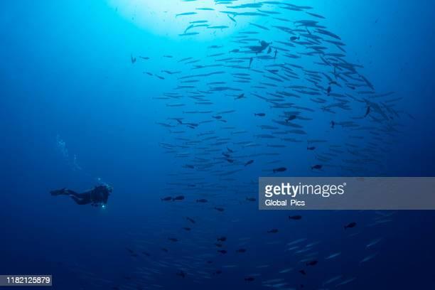 diver and school of barracudas - palau, micronesia - barracuda foto e immagini stock