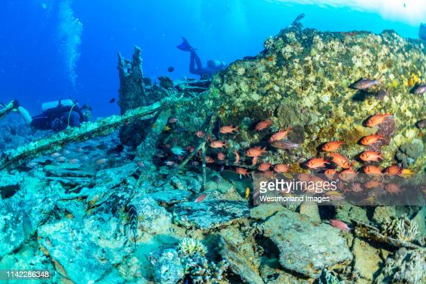 diver and schooling squirrelfish on the barge wreck.  gubal islands, northern red sea, egypt. - squirrel fish stock-fotos und bilder
