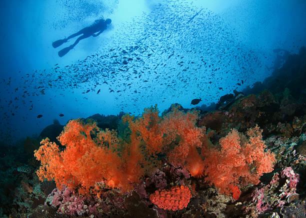 Diver and soft corals in Pescador island