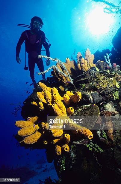 diver and yellow tube sponges - cnidarian stock photos and pictures