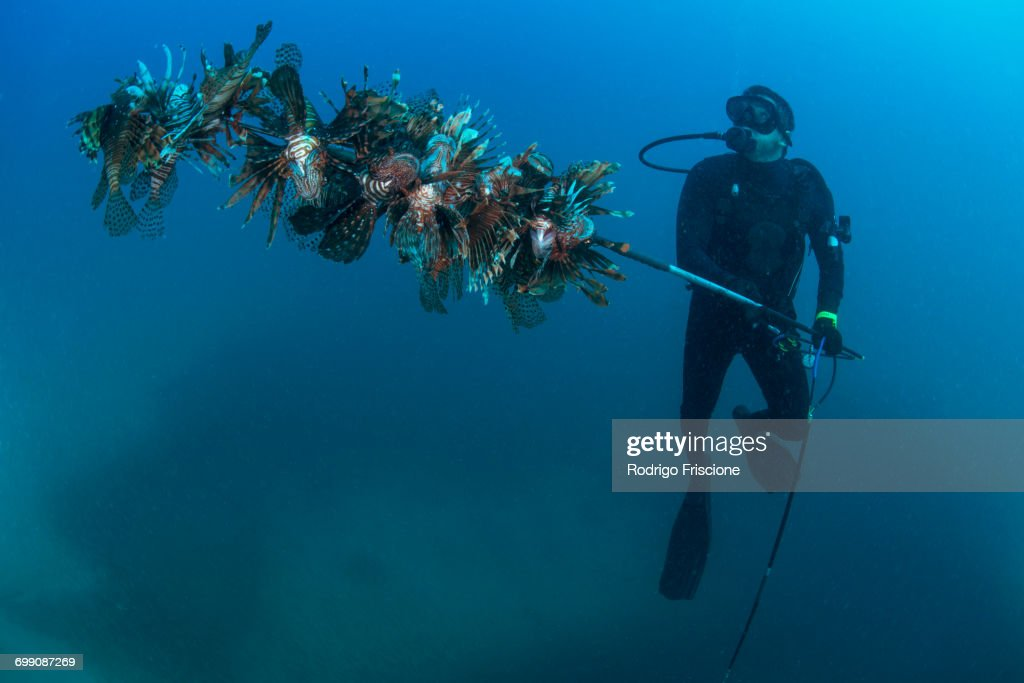 Diver collects invasive lionfish from local reef : Stock Photo