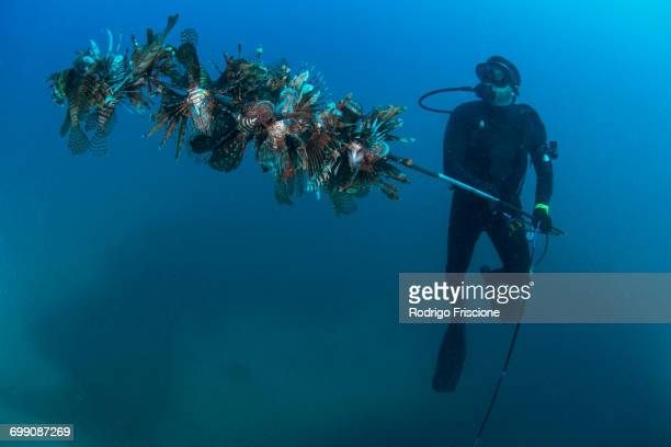 diver collects invasive lionfish from local reef - isla mujeres stock photos and pictures