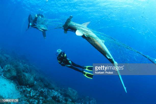 diver considers dead scalloped hammerhead (sphyrna lewini) and galapagos shark (carcharhinus galapagensis) in orphaned fishing net, wolf island, galapagos archipelago, unesco world heritage, pacific, ecuador - hammerhead shark stockfoto's en -beelden