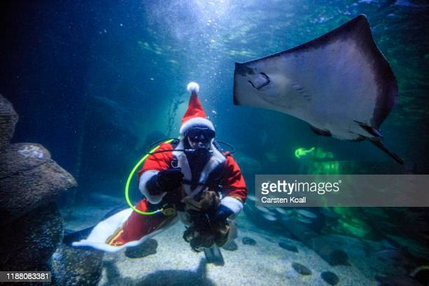 A diver dressed as Santa Claus feeds fish at the Sea Life Berlin aquarium on December 12 2019 in Berlin Germany The aquarium contains over 1500 fish...
