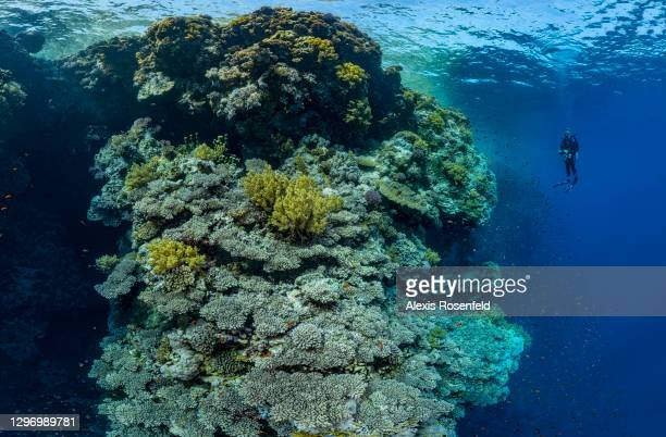 Diver explores a marvelous drop off covered with hard and soft corals on May 05, 2017 off Egypt, Red Sea. Offshore reefs such as Brothers Islands,...