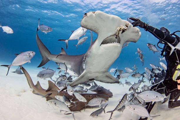 Diver feeding great hammerhead shark and fishes underwater, Alice Town, Bimini, Bahamas