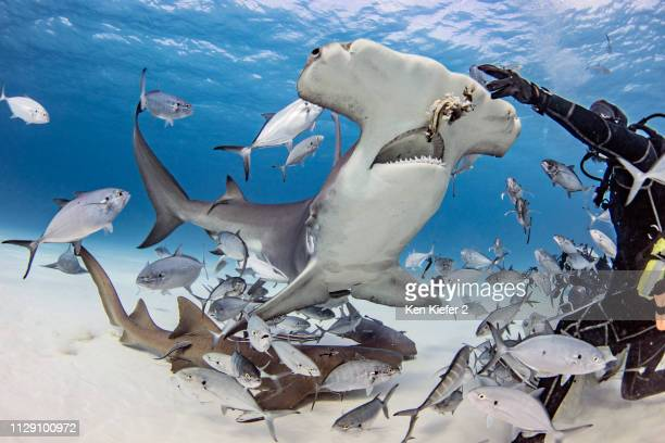 diver feeding great hammerhead shark and fishes underwater, alice town, bimini, bahamas - alice vaillant photos et images de collection