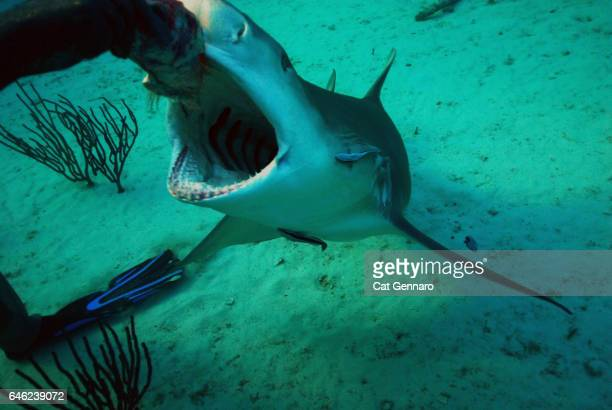 diver feeds lemon shark - photographic film camera stock photos and pictures