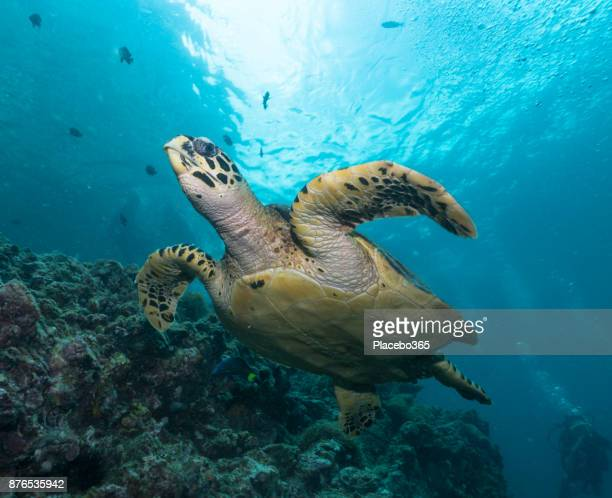 Diver in rare underwater encounter with Critically Endangered Hawksbill Sea Turtle (Eretmochelys imbricata)