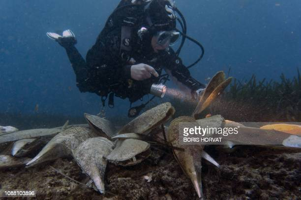 Diver looks at dying noble pen shells, also called Pinna nobilis, on January 16, 2019 in Villefranche-sur-mer, southern France. - The Haplosporidium...