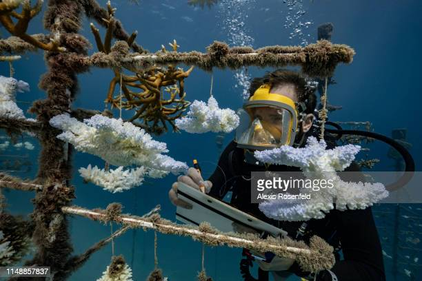 Diver looks at one of the coral nurseries on the coral reefs of the Society Islands in French Polynesia. On May 9, 2019 in Moorea, French Polynesia....