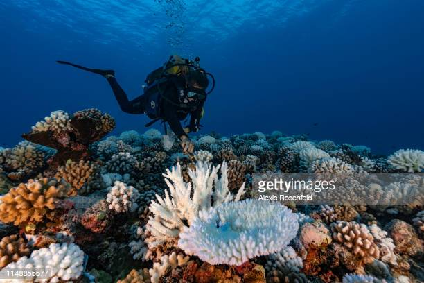 A diver looks at reef of a major bleaching on the coral reefs of the Society Islands on May 9 2019 in Moorea French Polynesia Major bleaching is...