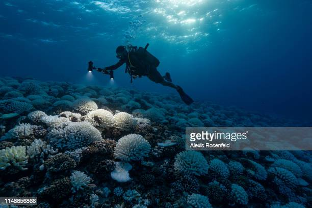 A diver looks at the coral reefs of the Society Islands in French Polynesia on May 9 2019 in Moorea French Polynesia Major bleaching is currently...