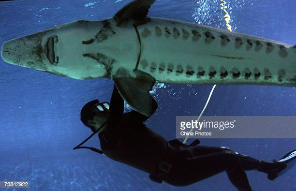 A diver measures the chest perimeter of a Chinese Sturgeon at the Beijing Aquarium on April 9 2007 in Beijing China Two caught wild Chinese Sturgeons...
