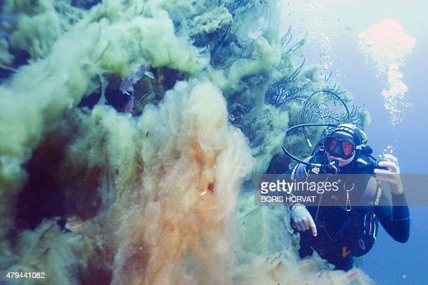 A diver observes filamentous algae locally known as thanatos at La Ciotat in the Mediterranean sea on July 4 2015 Recent global warming has caused a...