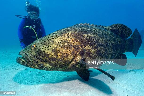 Diver observes Goliath grouper, Epinephelus itajara, Molasses Reef, Key Largo, Florida, USA, Atlantic Ocean
