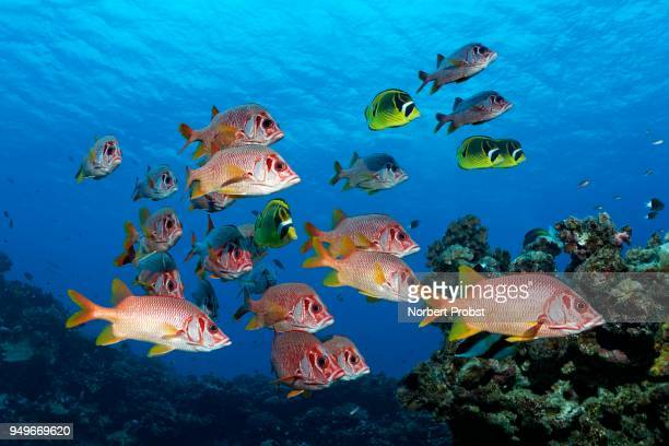 diver observes swarm sabre squirrelfish (sargocentron spiniferum), together with raccoon butterflyfishn (chaetodon lunula), pacific ocean, french polynesia - squirrel fish stock photos and pictures