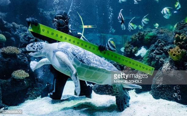 TOPSHOT Diver Oliver Volz measures sea turtle Speedy during an annual stock take at the aquarium of the SeaLife in Timmendorfer Strand northern...