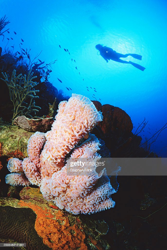Diver Over Azure Vase Sponge Underwater View Stock Photo Getty Images