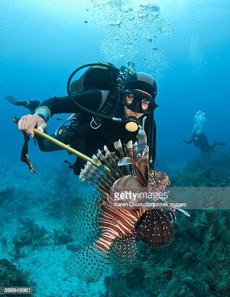 Diver spears an invasive Indo-Pacific Lionfish in the Caribbean Sea.