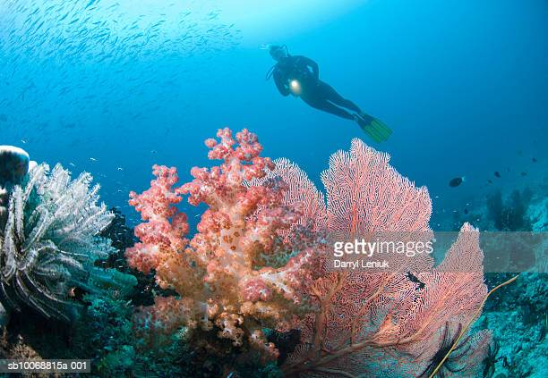 diver swimming above reef, underwater view - raja ampat islands stock photos and pictures