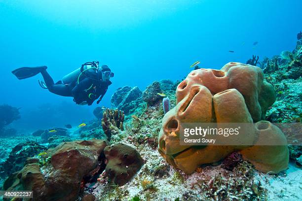 Diver swimming among yellow sponges