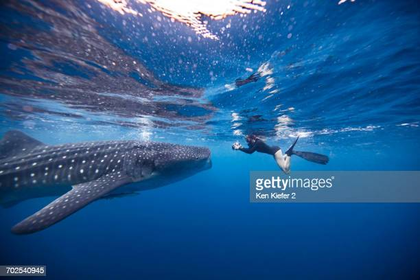 diver swimming with whale shark, underwater view, cancun, mexico - whale shark stock pictures, royalty-free photos & images