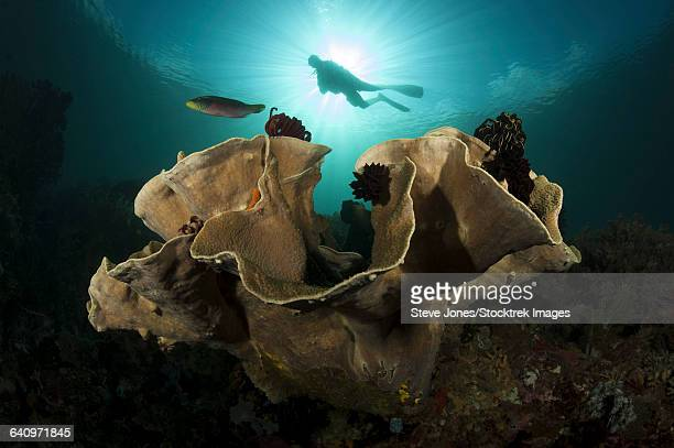 diver swims above a large sponge in horseshoe bay, indonesia. - east nusa tenggara stock pictures, royalty-free photos & images