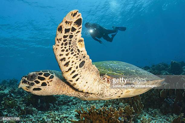 a diver swims alongside a hawksbill sea turtle off of indonesia. - east nusa tenggara stock pictures, royalty-free photos & images