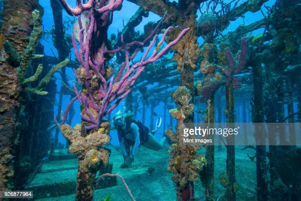 diver swims amid the remains of the willaurie shipwreck, nassau, bahamas - sunken stock pictures, royalty-free photos & images