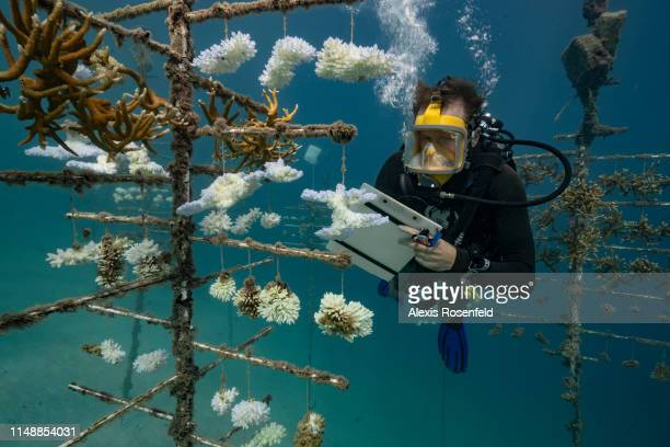 Diver takes notes at one of the coral nurseries on the coral reefs of the Society Islands in French Polynesia. On May 9, 2019 in Moorea, French...