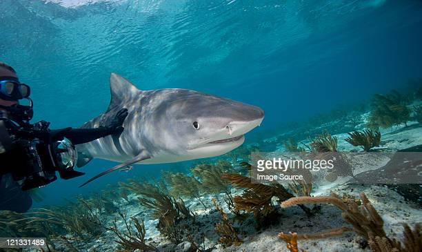 diver touches tiger shark - tiger shark stock pictures, royalty-free photos & images