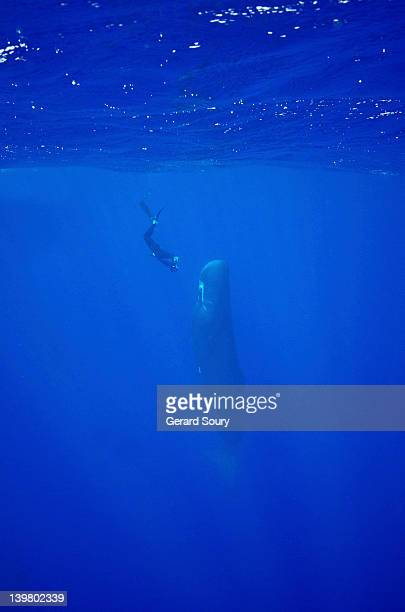 Diver visiting a Sperm Whale sleeping in 'candle light position' Sperm Whale (Physeter catodon) Indian Ocean