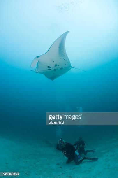 Diver watching Manta Ray Manta birostris Kandooma Manta Point South Male Atoll Maldives