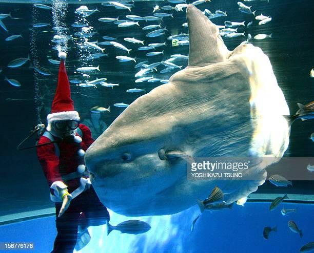 A diver wearing a Santa Claus costume feeds a sunfish during a Christmas show at the Hakkeijima Sea Paradise aquarium in Yokohama suburban Tokyo on...