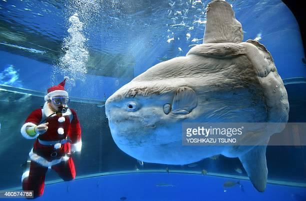 A diver wearing a Santa Claus costume feeds a sunfish to attract visitors at the Hakkeijima Sea Paradise aquarium in Yokohama suburban Tokyo on...
